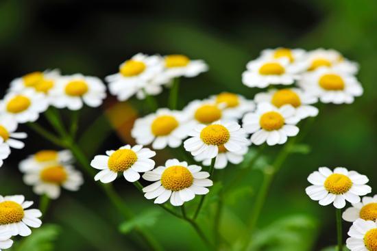 Chamomilla Matricaria Flower Oil